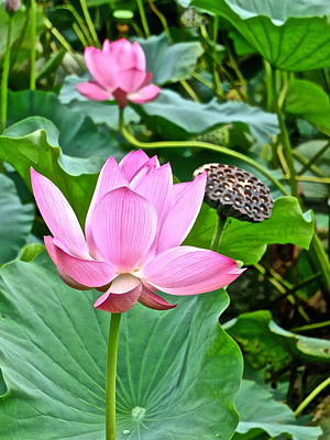 Photograph - Lotus Heaven - 41 by Larry Knipfing