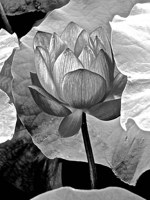 Photograph - Lotus Heaven - 5 by Larry Knipfing