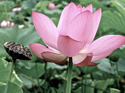 Photograph - Lotus Heaven - 51 by Larry Knipfing
