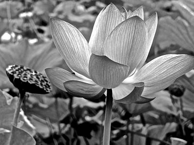 Photograph - Lotus Heaven - 52 by Larry Knipfing