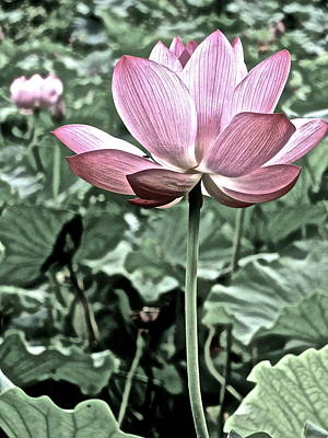 Photograph - Lotus Heaven - 54 by Larry Knipfing