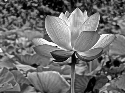 Photograph - Lotus Heaven - 57 by Larry Knipfing
