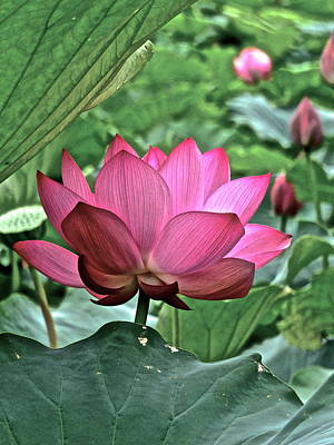 Photograph - Lotus Heaven - 73 by Larry Knipfing