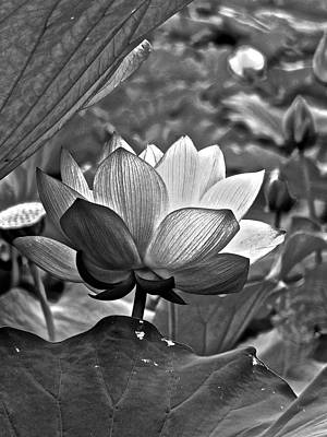 Photograph - Lotus Heaven - 75 by Larry Knipfing