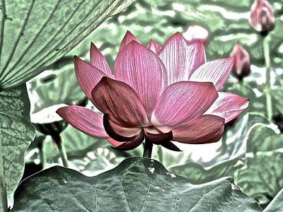 Photograph - Lotus Heaven - 77 by Larry Knipfing