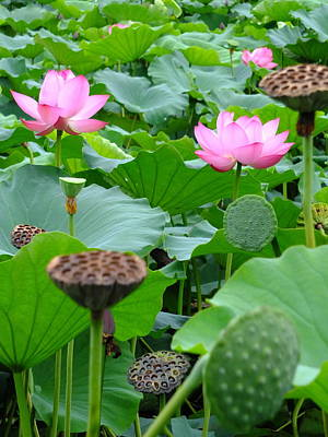 Photograph - Lotus Heaven - 80 by Larry Knipfing