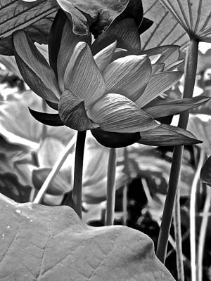 Photograph - Lotus Heaven - 85 by Larry Knipfing