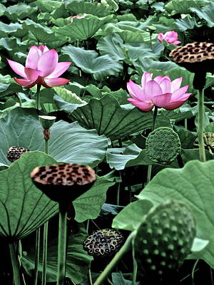 Photograph - Lotus Heaven - 87 by Larry Knipfing