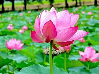 Photograph - Lotus Heaven - 91 by Larry Knipfing