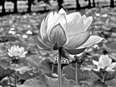 Photograph - Lotus Heaven - 94 by Larry Knipfing