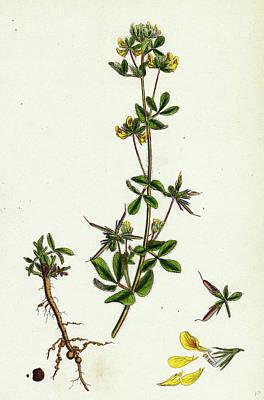 Botanica Drawing - Lotus Hispidus Short-podded Small Birds-foot Trefoil by English School
