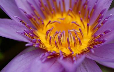 Lotus In Bloom Art Print by Janet Hawkins