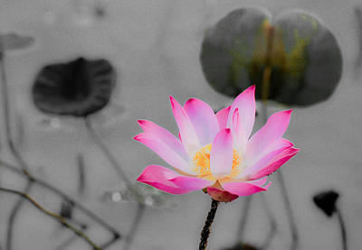 Photograph - Lotus In Grey by Chua  ChinLeng