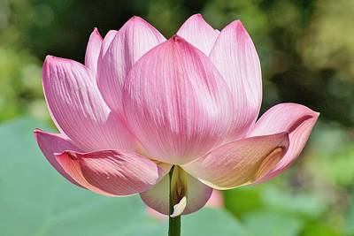 Photograph - Lotus In The Sun by Jean Goodwin Brooks