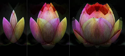 Photograph - Lotus In Transition by Wayne Sherriff