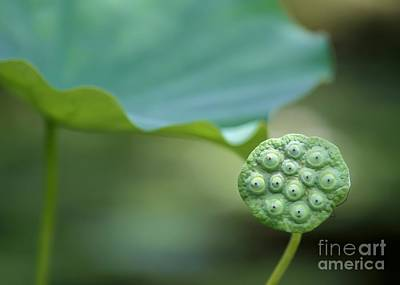 Landscap Photograph - Lotus Leaf And A Seed Pod by Sabrina L Ryan