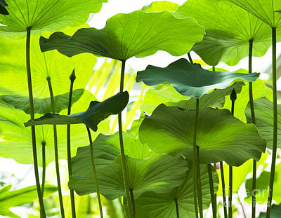 Aquatic Plant Photograph - Lotus Leaves by Tim Gainey