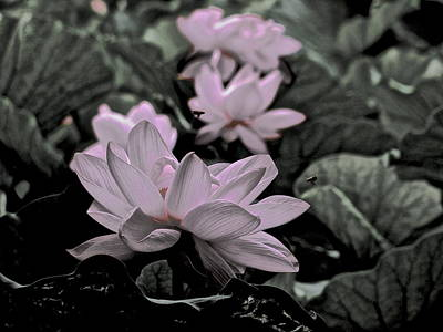 Photograph - Lotus Life - 3 by Larry Knipfing