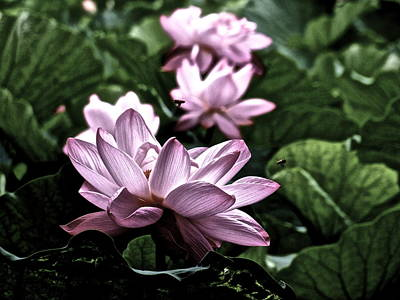 Photograph - Lotus Life by Larry Knipfing