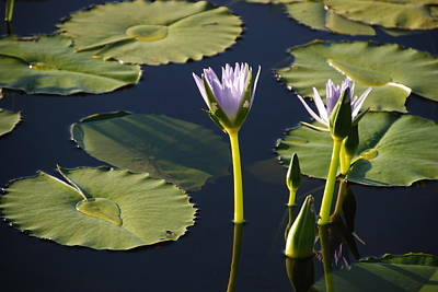 Photograph - Lotus-lily 2 by Ankya Klay