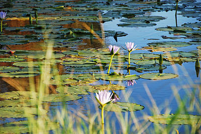 Photograph - Lotus-lily Pond 2 by Ankya Klay
