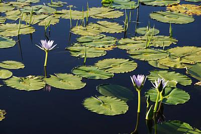Photograph - Lotus-lily Pond 3 by Ankya Klay
