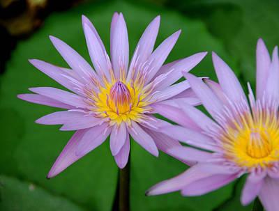 Photograph - Lotus Love by Mark Sullivan