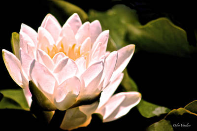 Photograph - Lotus Love Shines by Debra     Vatalaro
