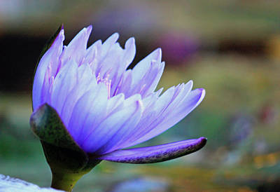 Floral Digital Art - Lotus Love by Suzanne Gaff