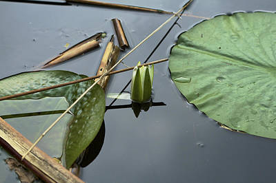 Photograph - Lotus - Nature Photograph by Jane Eleanor Nicholas