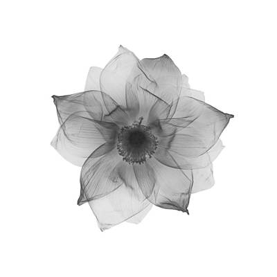 Photograph - Lotus by Nick Veasey