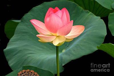 Lotus Of Late August Art Print by Byron Varvarigos