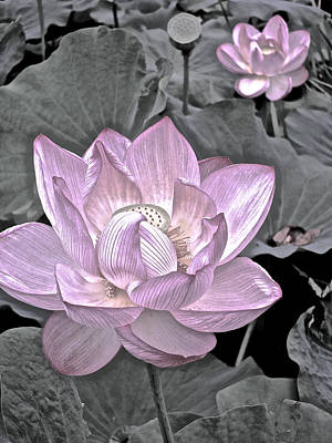Photograph - Lotus On My Mind - 6 by Larry Knipfing