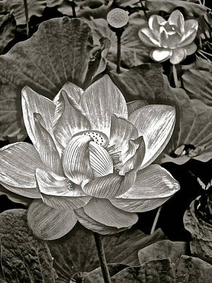 Photograph - Lotus On My Mind - 9 by Larry Knipfing