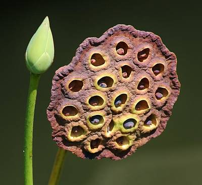 Photograph - Lotus Pod by Bruce Bley