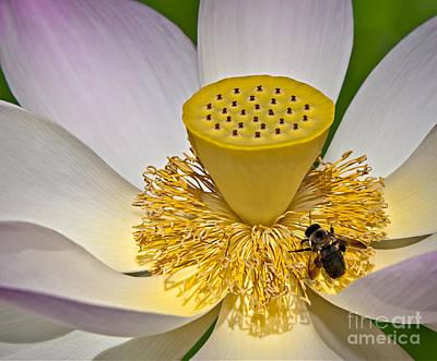 Floral Photograph - Lotus Pollinator by Susan Candelario