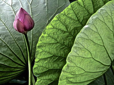 Photograph - Portrait Of A Lotus by Larry Knipfing