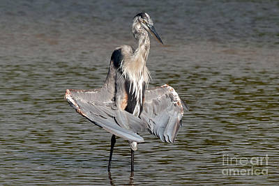 Photograph - Lotus Pose - Great Blue Heron by Meg Rousher