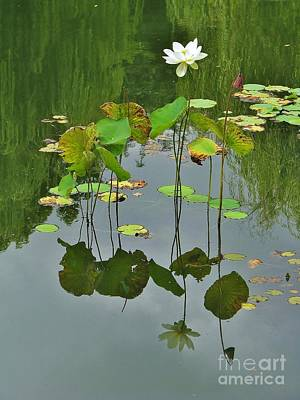 Photograph - Lotus Reflection by Michele Penner