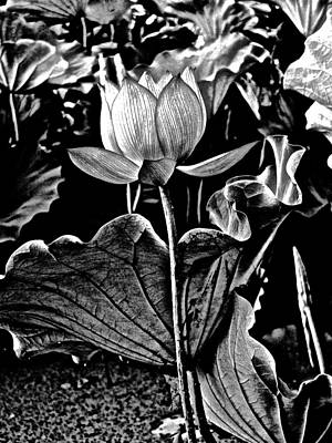 Photograph - Lotus Royalty - 10 by Larry Knipfing