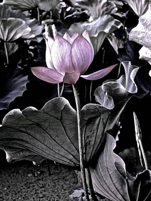 Photograph - Lotus Royalty - 3 by Larry Knipfing