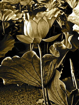Photograph - Lotus Royalty - 6 by Larry Knipfing