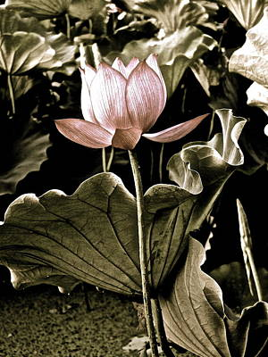 Photograph - Lotus Royalty - 7 by Larry Knipfing