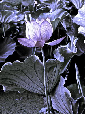Photograph - Lotus Royalty - 9 by Larry Knipfing