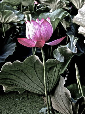 Photograph - Lotus Royalty by Larry Knipfing