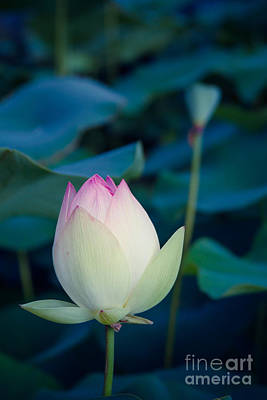 Photograph - Lotus by Sharon Mau