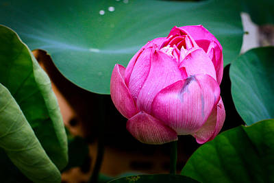 Lotus Singapore Flower Art Print by Donald Chen