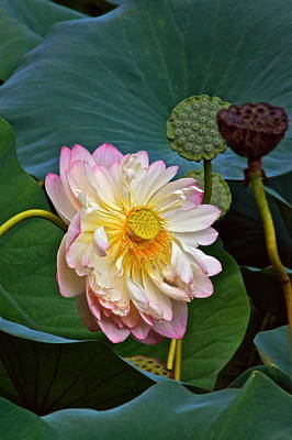 Photograph - Lotus -- Summer Beauty by Byron Varvarigos