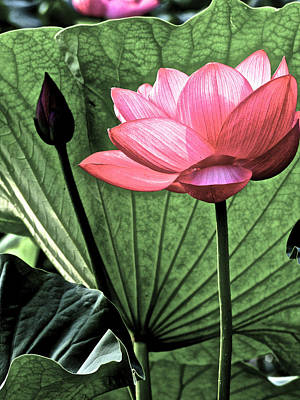 Photograph - Lotus World by Larry Knipfing