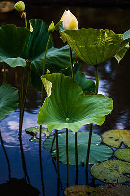Lotuses In The Evening Light. Vertical Art Print by Jenny Rainbow